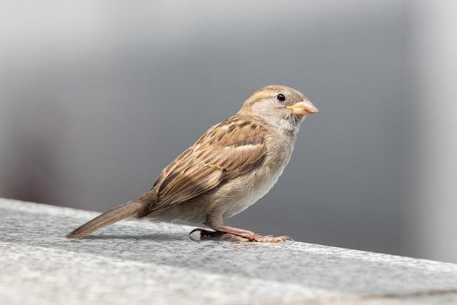 sparrow pest control